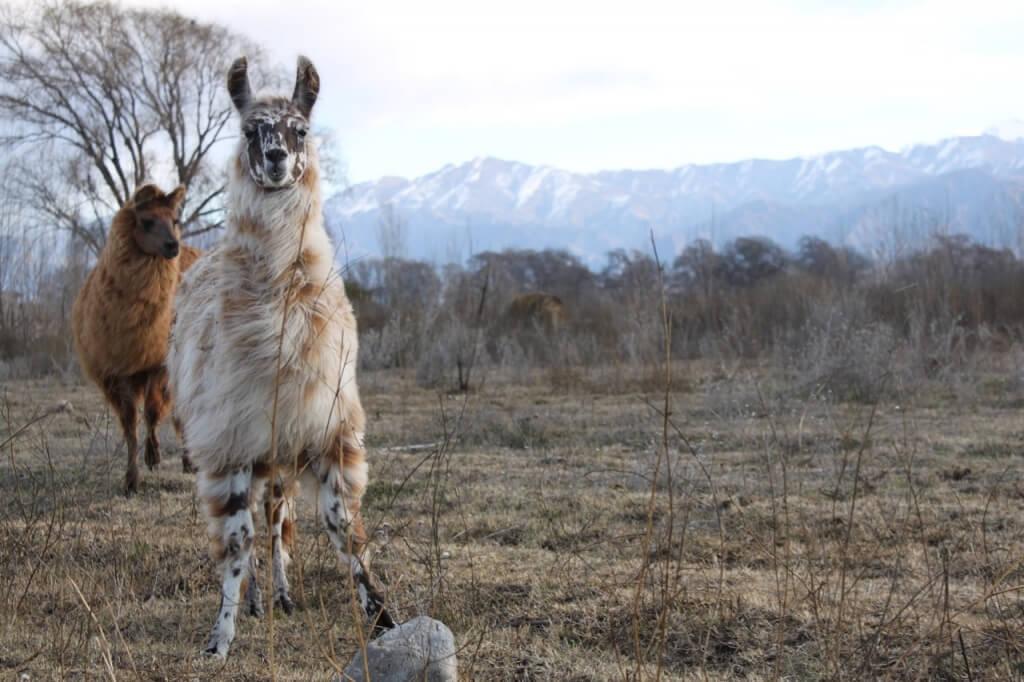 Llama at El Remanso, Walter's cabin. Photo: Nate