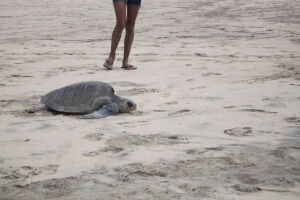 A turtle had just laid her eggs and was returning to sea.  Photo by Amelia