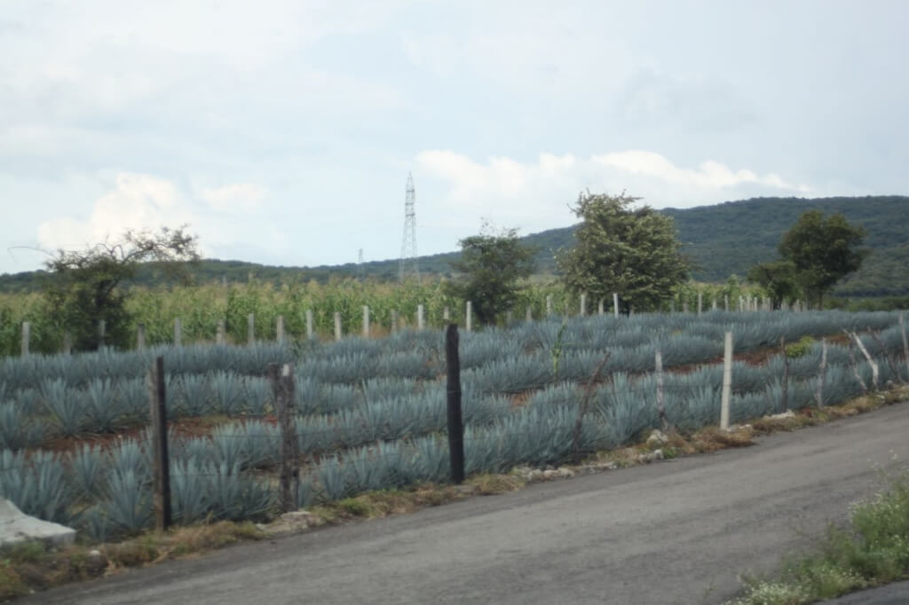 Agave. Photo by V