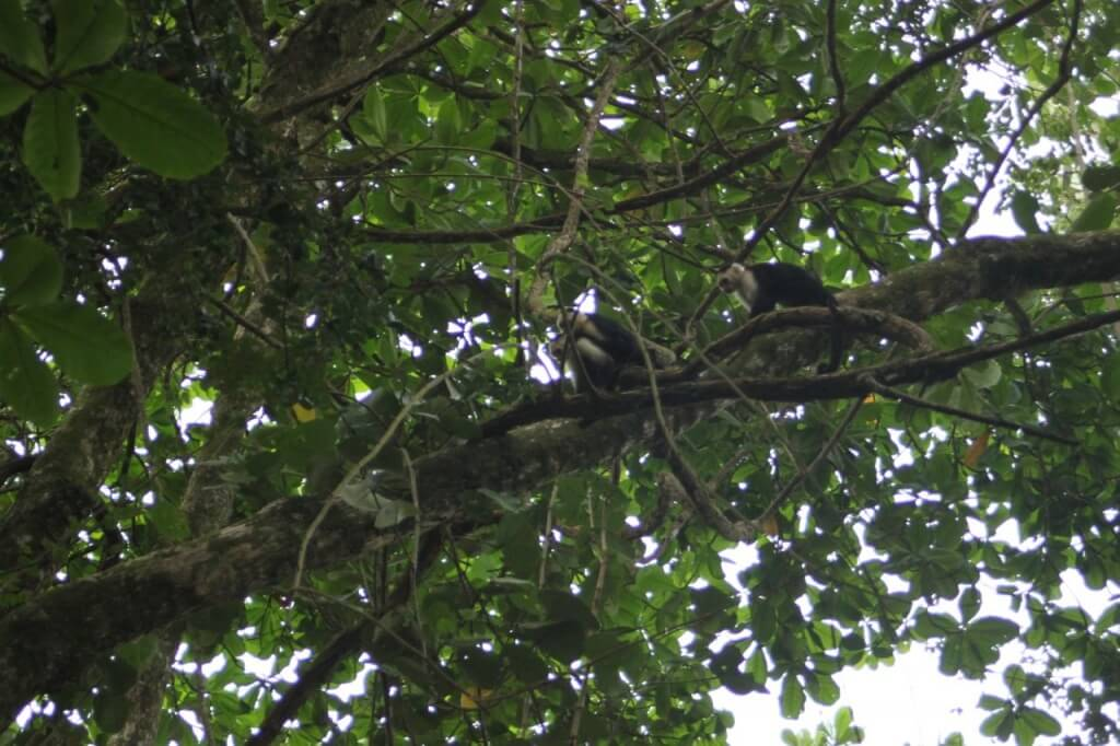 White Faced Capuchins in Cahuita National Park.  Photo by Benjamin.