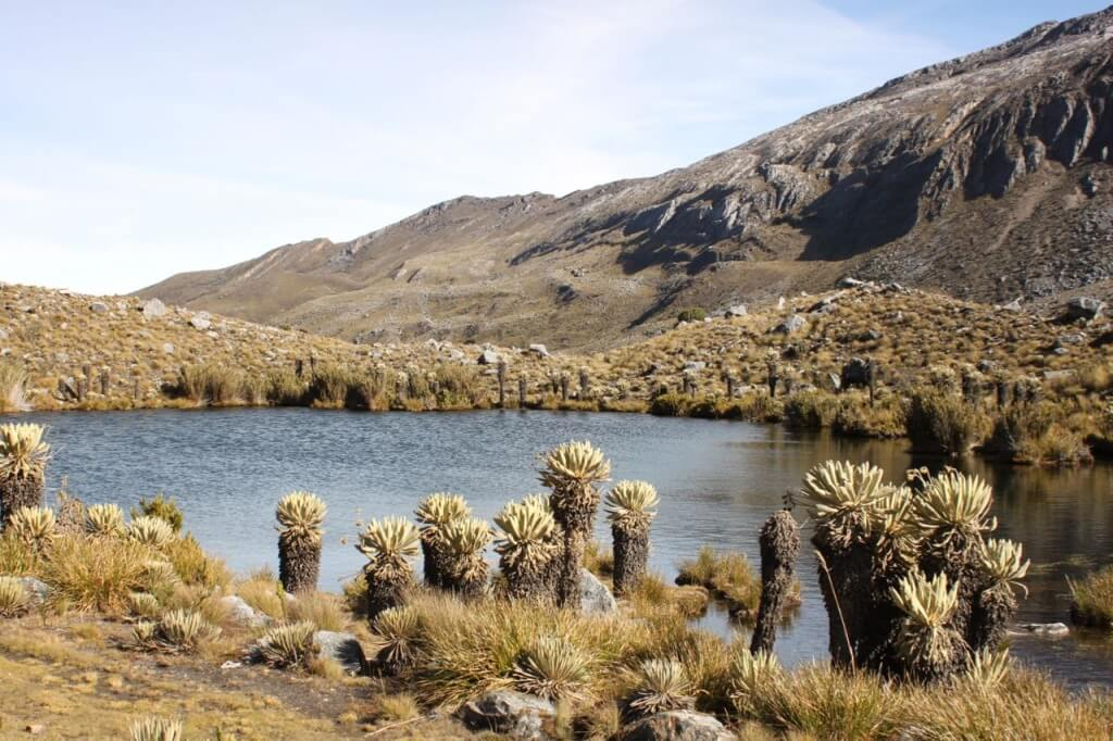 The frailejones in Cocuy.  Photo by Nate