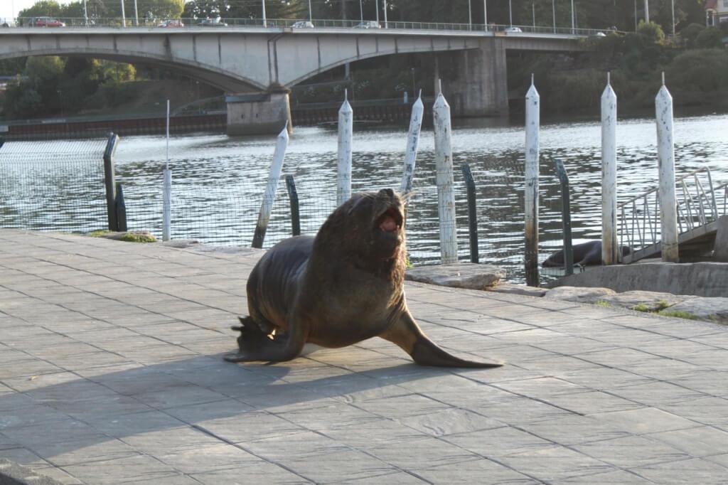 Mr. Grumpy Sea Lion Boss. Photo by Nate